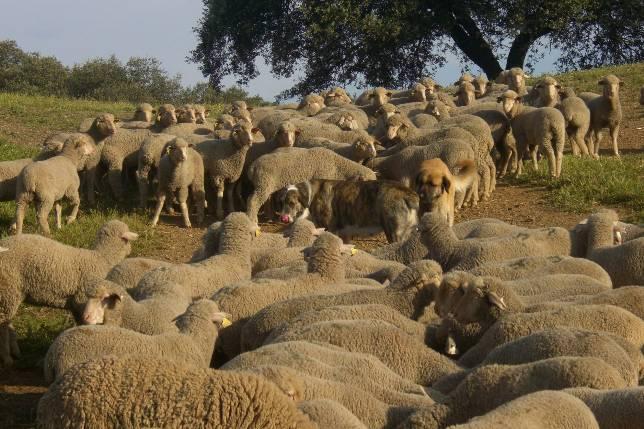 Sospechan de la existencia de una red de cuatreros y mataderos ilegales en la Sierra Norte