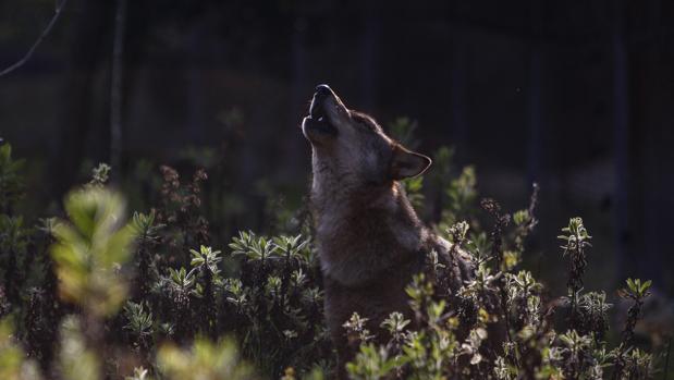 Un lobo ibérico en plena naturaleza