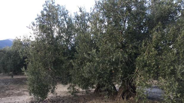 Andalucía es la región del mundo con más olivares