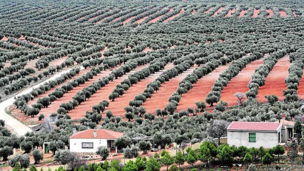 Un paisaje de olivar en un municipio de la provincia de Córdoba