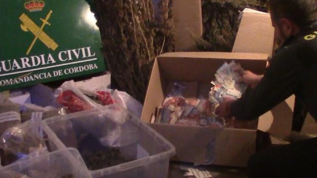 Así guardaban el dinero los narcos: en una caja de cartón entre plantas de marihuana