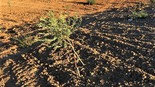 Una de las fincas que ha sufrido la tala de olivos recién plantados