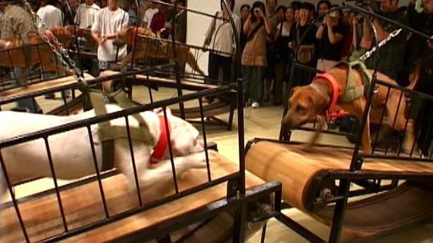 Obra «Los perros no pueden tocarse unos a otros», de Sun Yuan y Peng yu