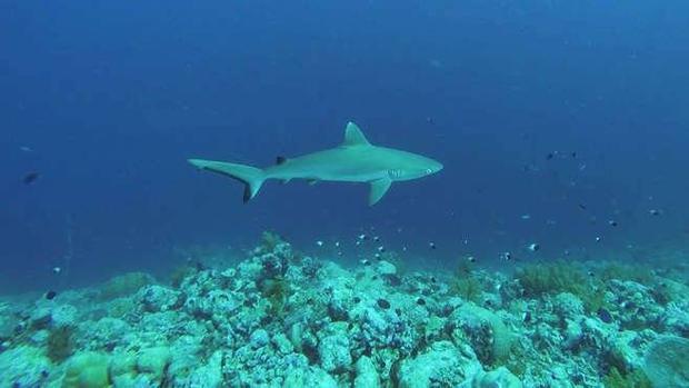 Los tiburones escasean y son más pequeños cerca de ciudades