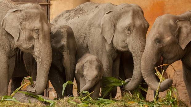 Cites restringe el comercio de elefantes silvestres vivos