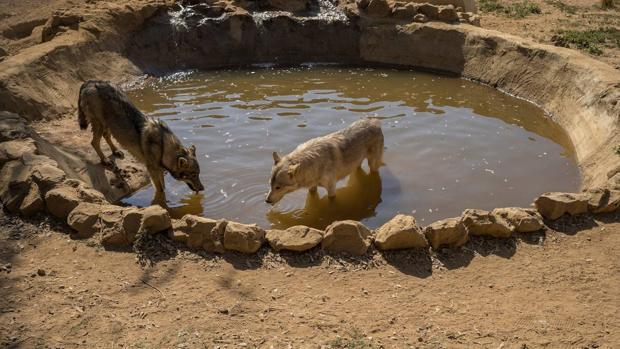 Salvan a una manada de lobos americanos de convertirse en las «dianas» de los cazadores recreativos