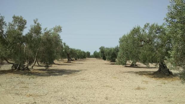 El olivar se verá beneficiado por estas concesiones