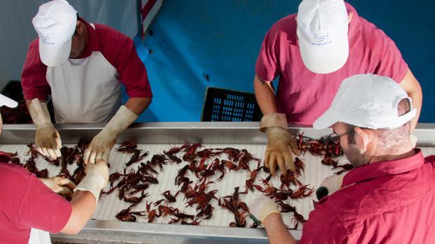 El TSJA ha rechazado el recurso de Ecologistas en Acción contra el plan de la Junta que permite la captura del cangrejo rojo