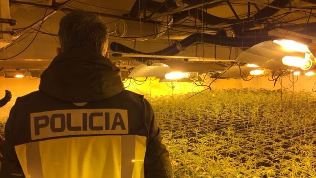 Un policía observa los cultivos de marihuana