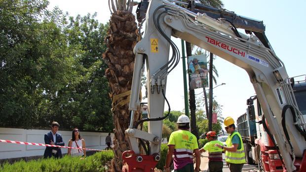Plantación de una palmera bajo la supervisión del delegado de Parques y Jardines, David Guevara