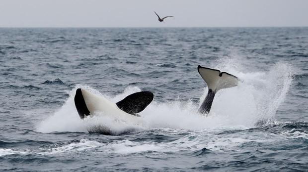 Una ballena cerca de Rausu, Hokkaido, Japón